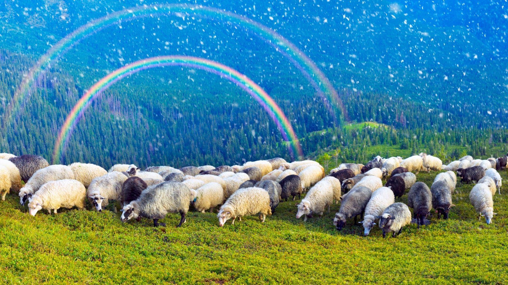 Cheiro a ovella
